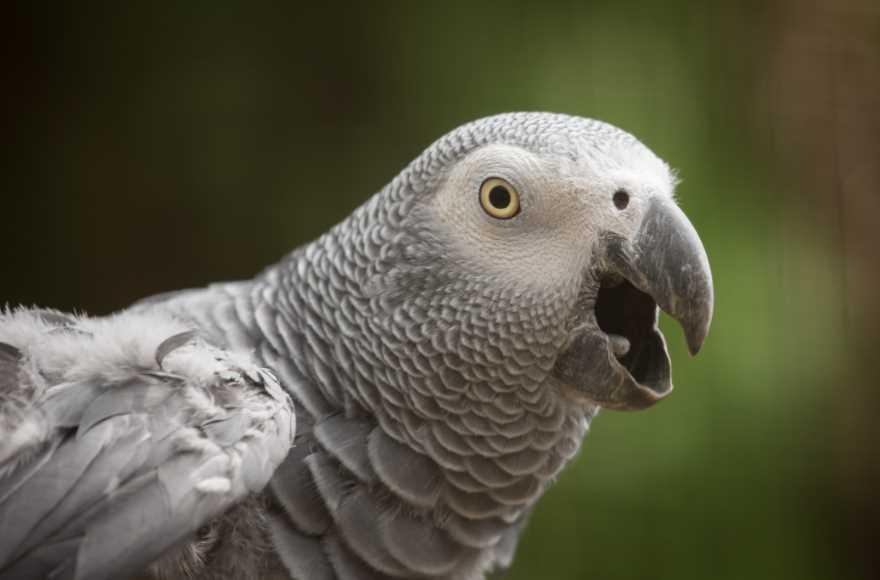 африканский попугай