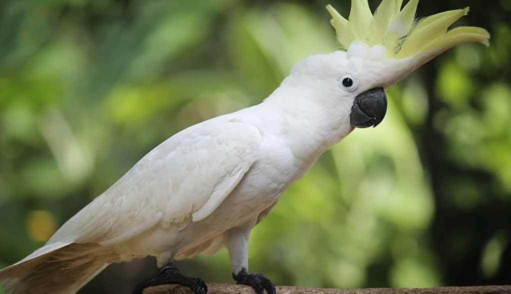 какаду описание птицы