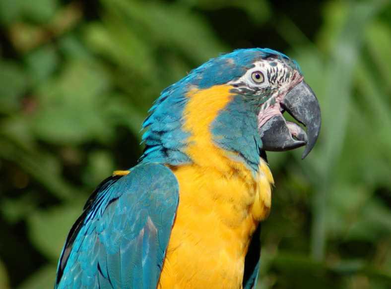 птенец ара