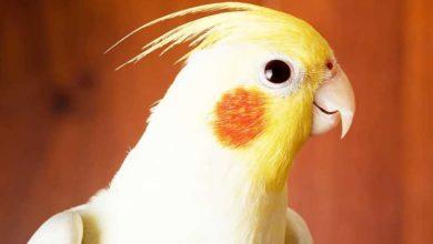 Photo of Каким способом быстро успокоить попугая?