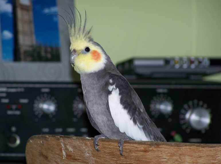 попугай корелла говорит или нет