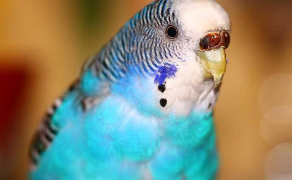 как вылечить волнистого попугая