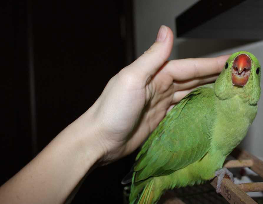 как приручить к рукам ожерелового попугая