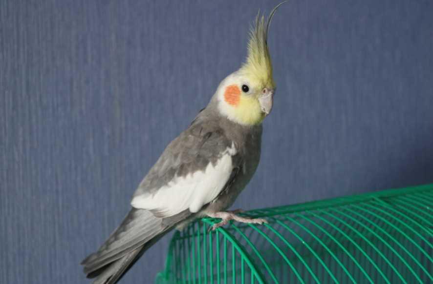 попугай корелла заболел
