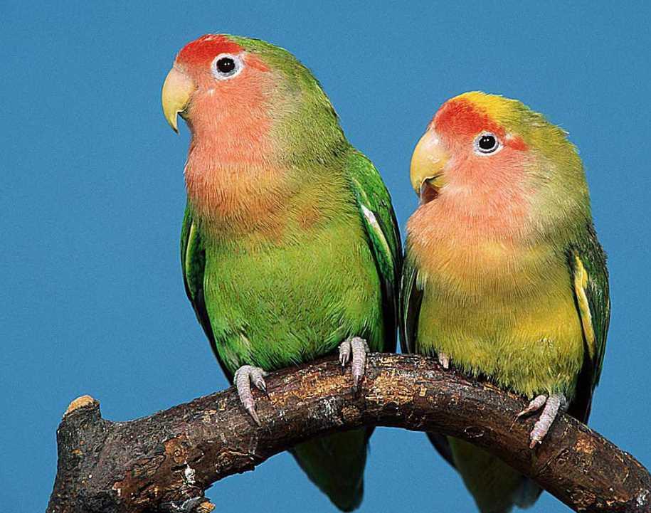 попугаи неразлучники в дома