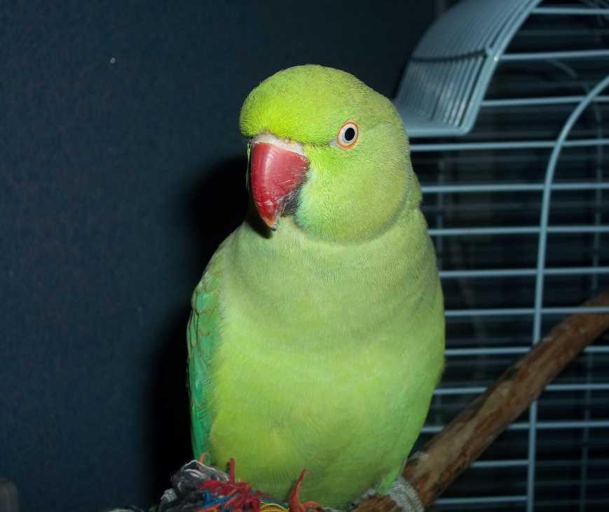 разведение ожереловых попугаев в домашних условиях