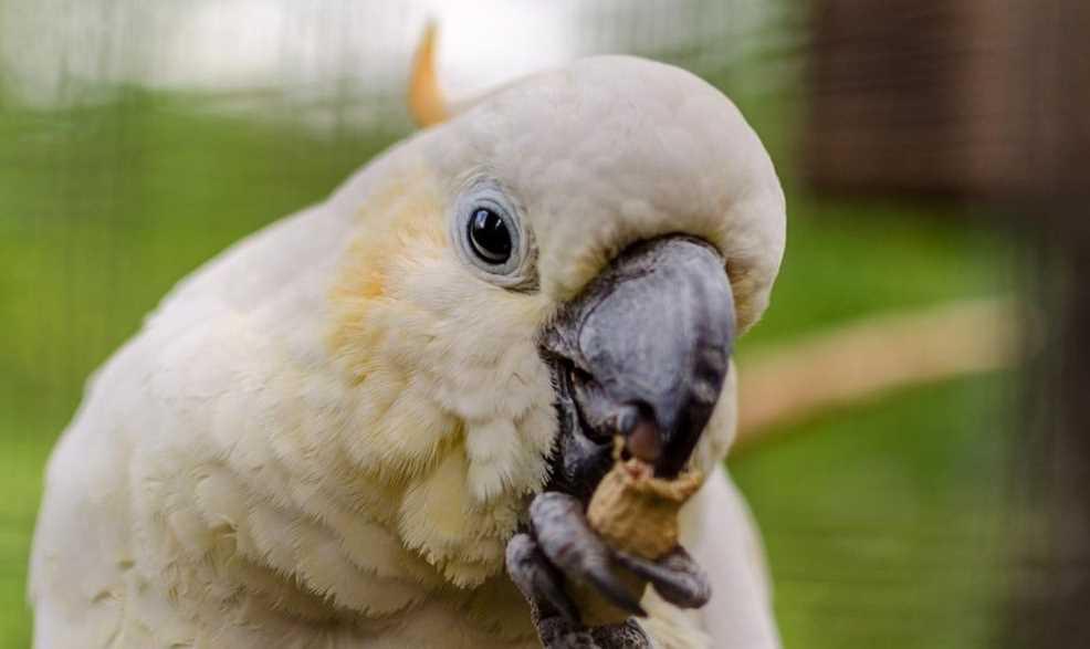 где живет попугай какаду