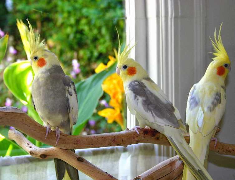 как научить говорить попугая корелла