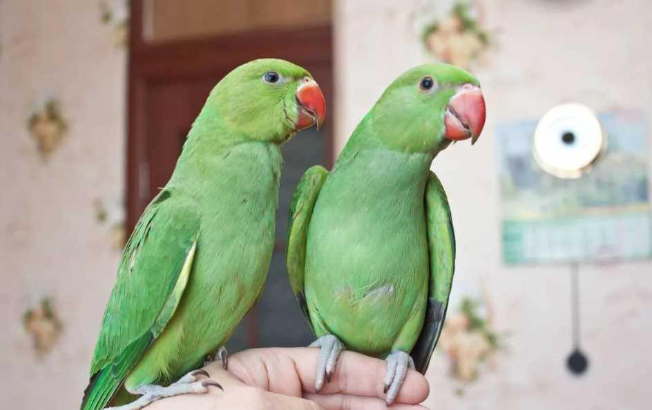 как ожереловый попугай приручить