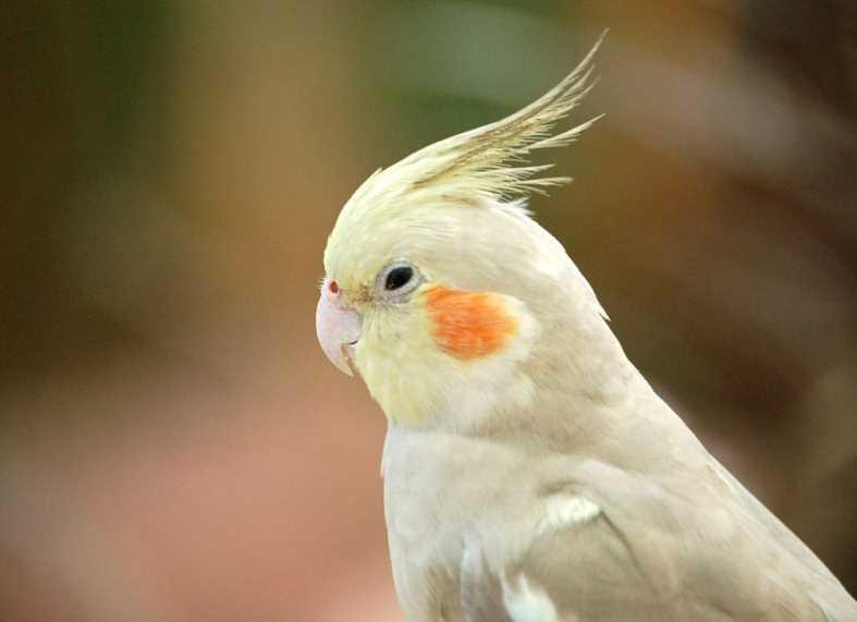 болезни попугаев корелла лечение