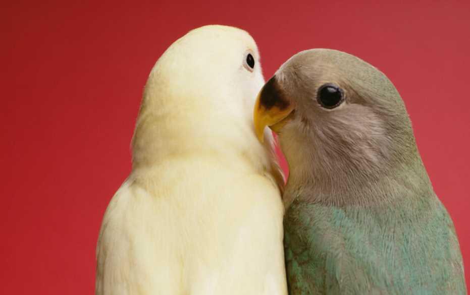 попугайчики неразлучники уход и содержание