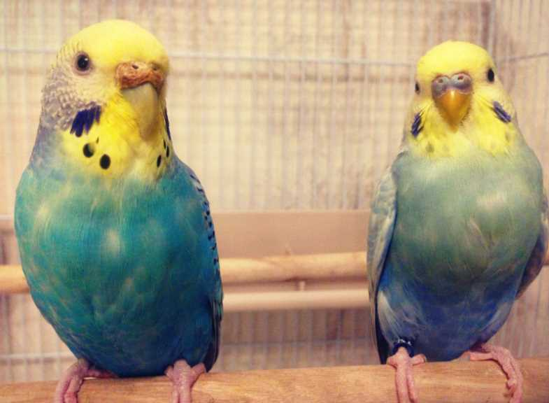 можно ли волнистому попугаю банан