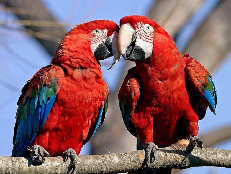 красный попугай ара