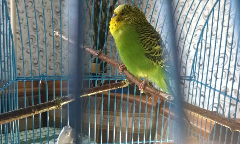 чем болеют волнистые попугаи и как их лечить