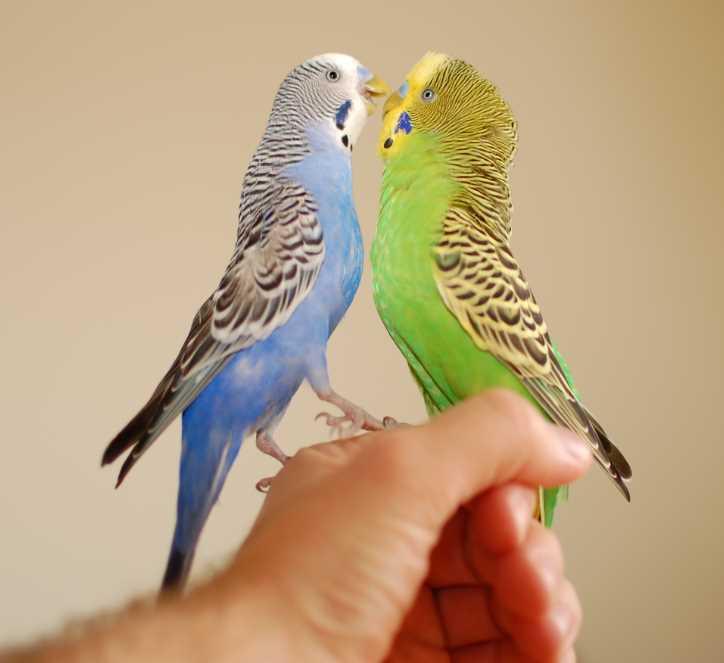 как размножаются волнистые попугаи в домашних условиях