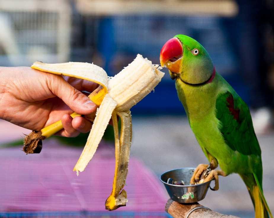 ожерелового попугая приручение