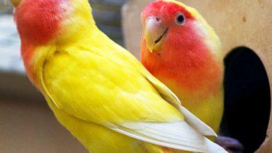 Photo of Как разводить попугаев неразлучников дома?