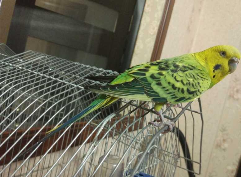 можно ли волнистым попугаям банан