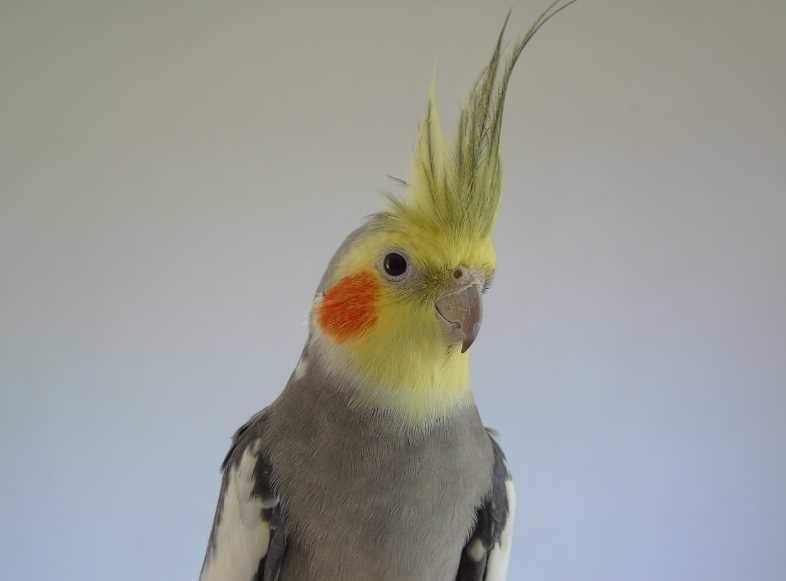 попугай корелла описание