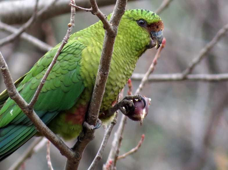 породы попугай
