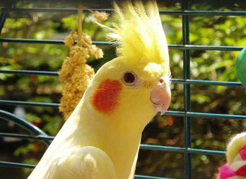 как научить разговаривать попугая корелла