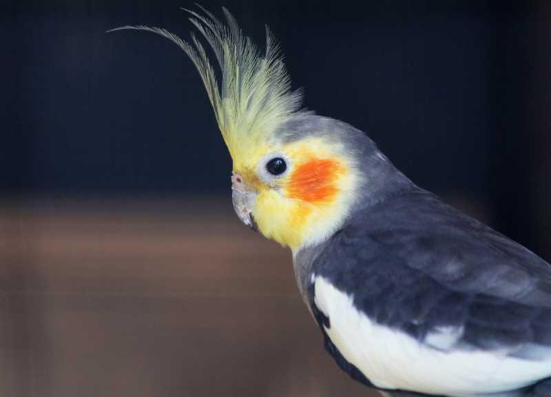 болезни попугаев корелла