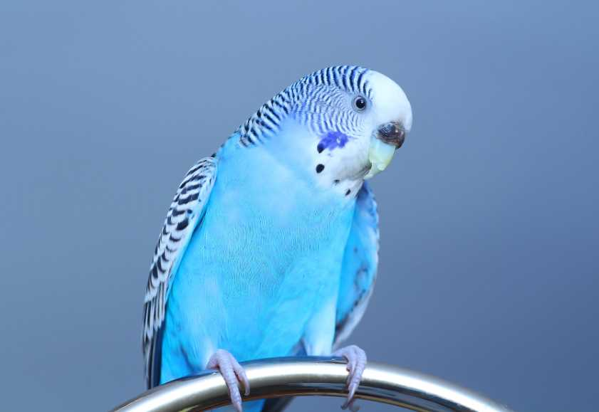 почему волнистый попугай не пьет воду