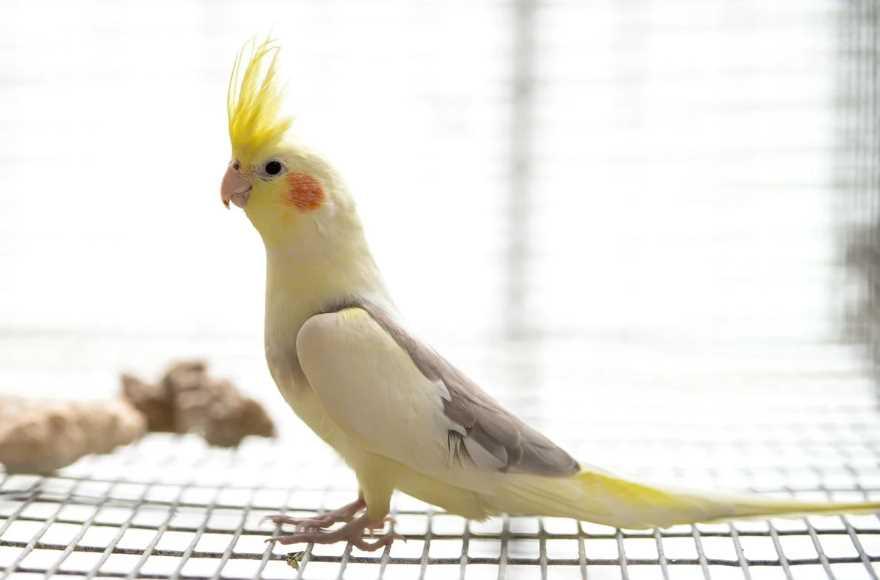 попугай с красными щеками