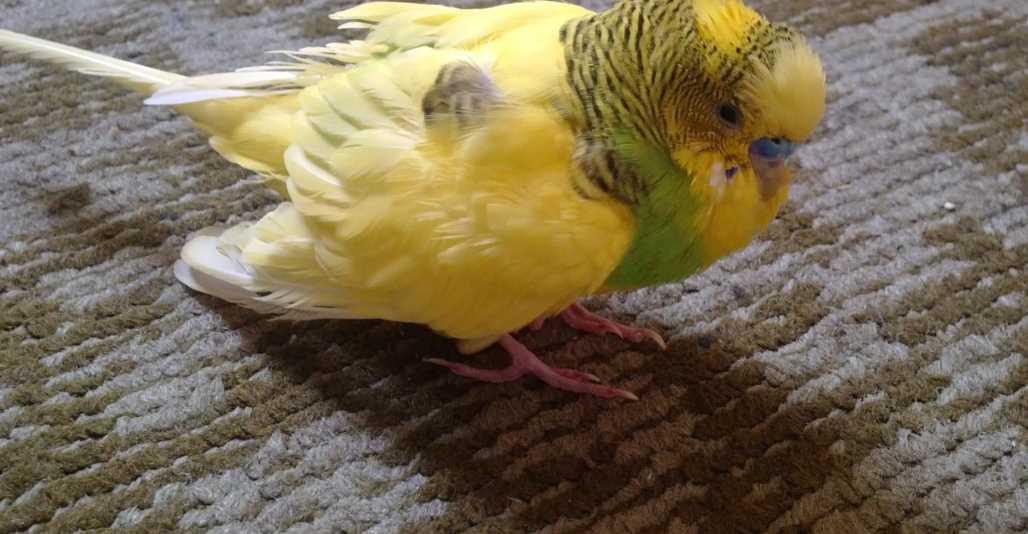 попугай болеет