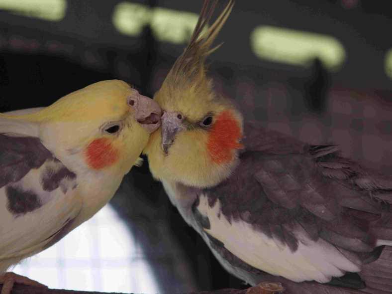 болезни попугаев корелла симптомы