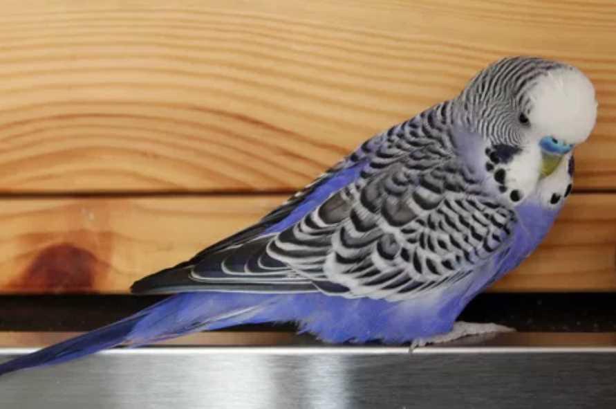почему попугай не пьет воду