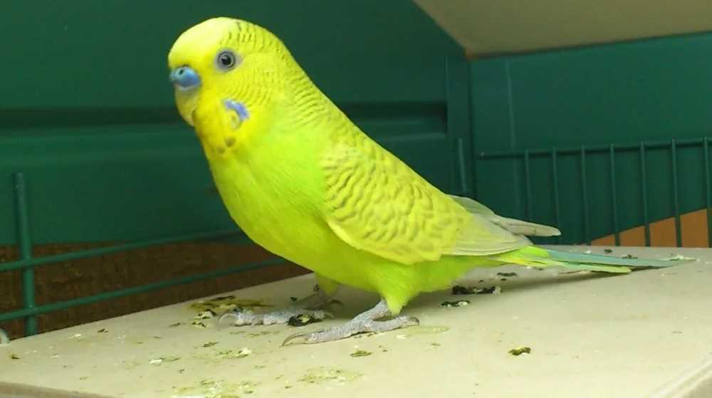 чем лечить понос у волнистого попугая