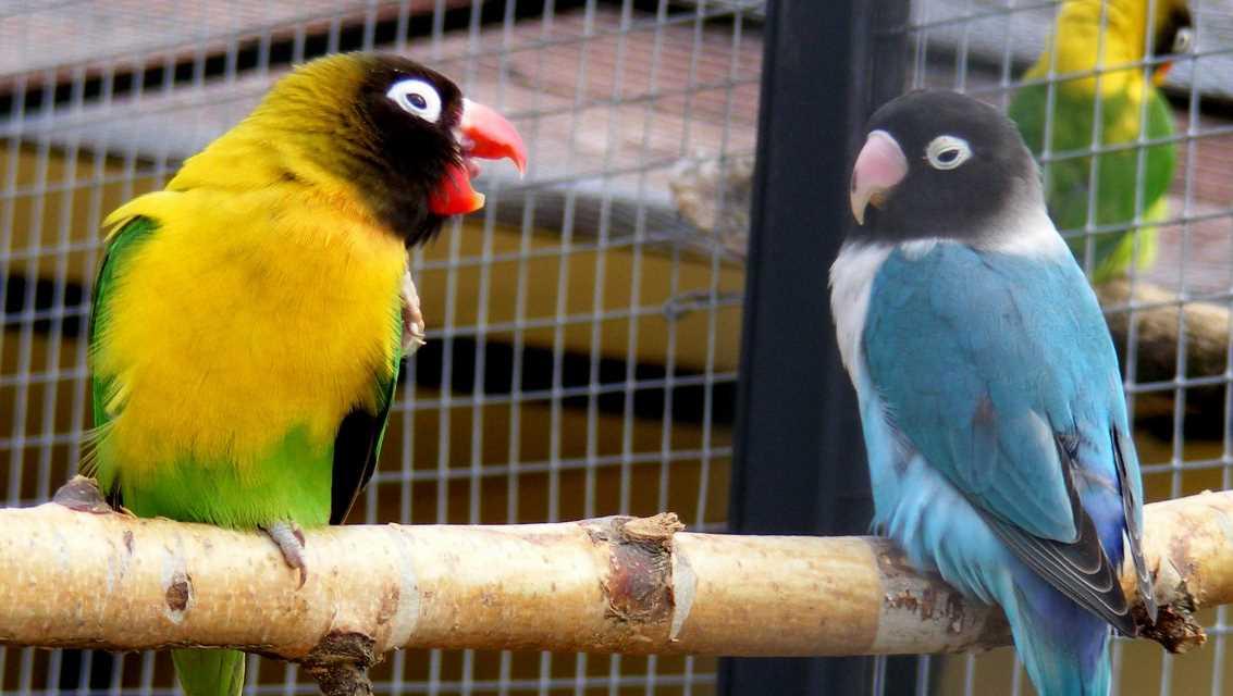 попугаи неразлучники уход