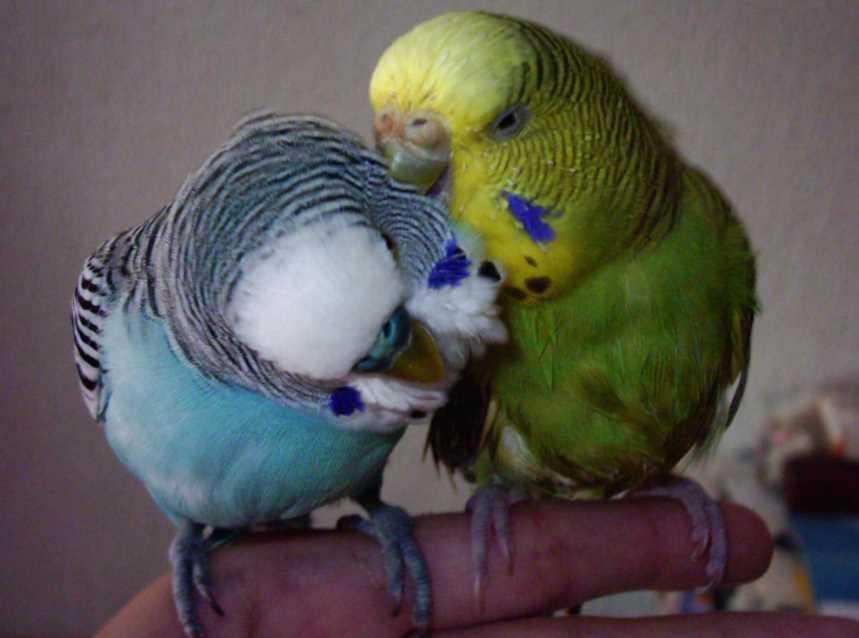 разведение волнистых попугаев в домашних условиях для начинающих