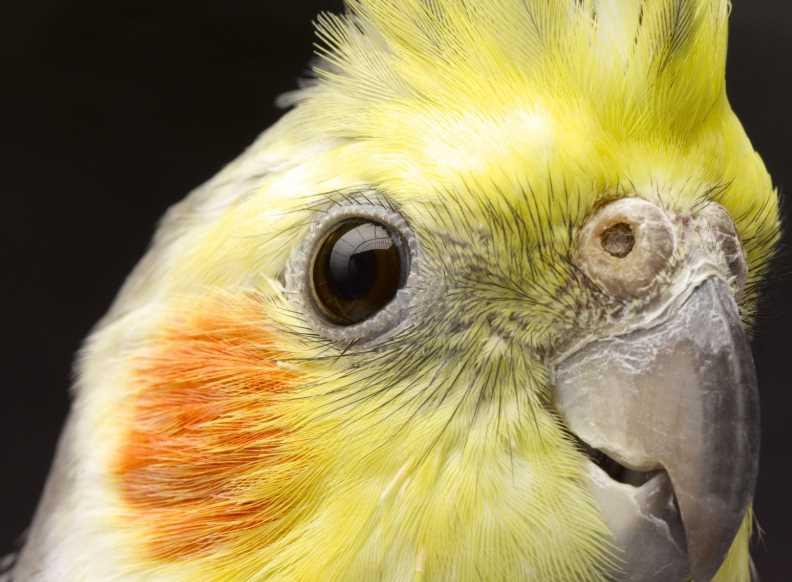 заболел корелла попугай что делать