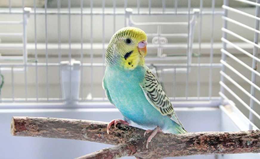 у попугая жидкий стул что делать
