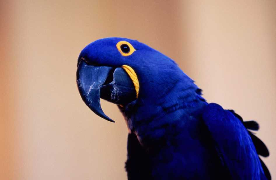 попугай гиацинтовый