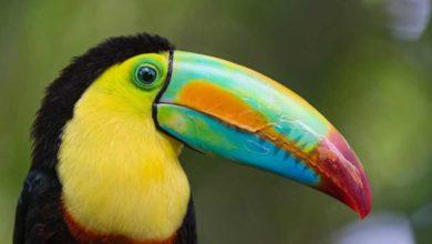 Photo of Попугай с большим клювом — тукан: описание вида