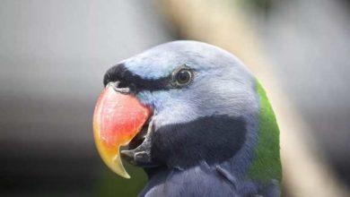 Photo of Китайский благородный попугай — описание