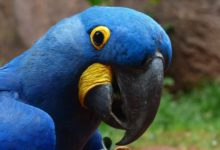 Photo of Синие попугаи ара