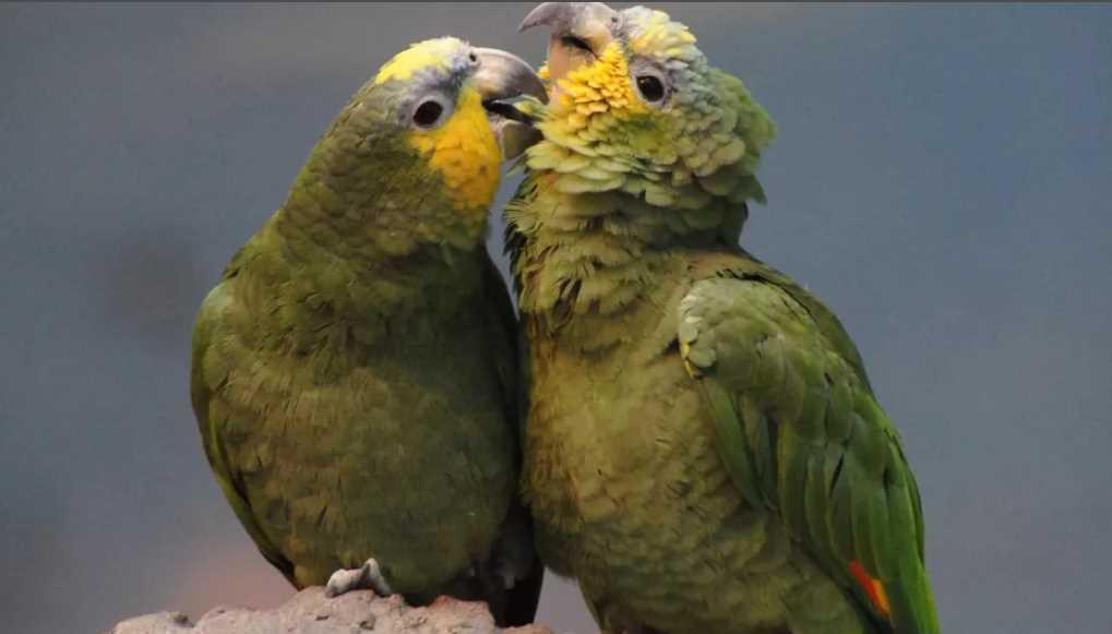 Пары попугаи фото вереница