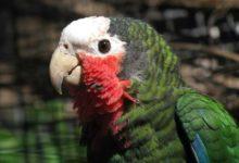 Photo of Попугайчик кубинский амазон