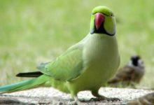 Photo of Ожереловый попугай описание птицы