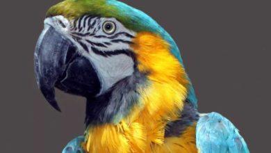 Photo of Продолжительность жизни попугая ара