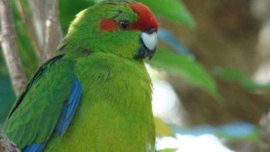 Photo of Попугай какарик описание