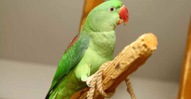 Photo of Александрийский ожереловый попугай