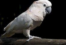 Photo of Попугай какаду альба