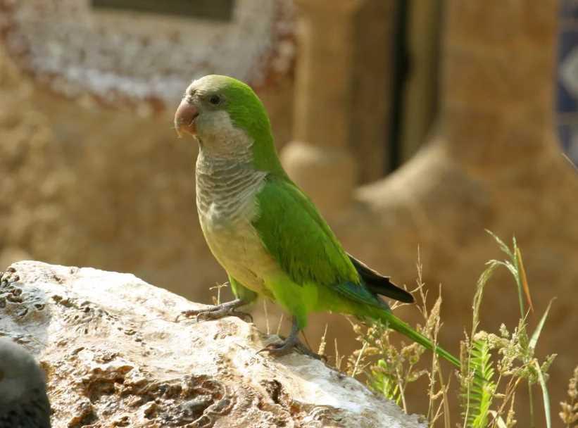 попугай калита монах