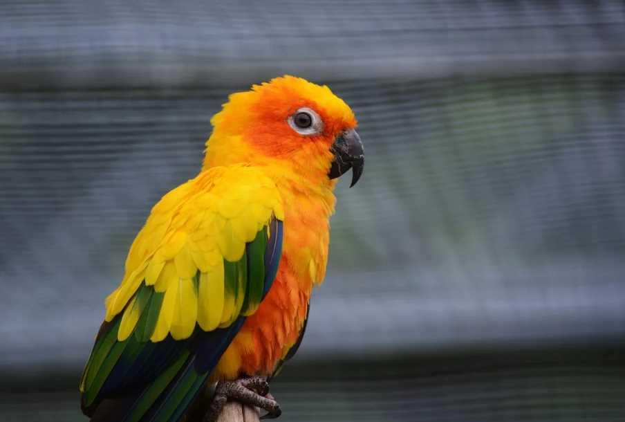 лори попугаи