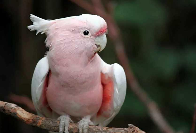 какаду попугай розовый